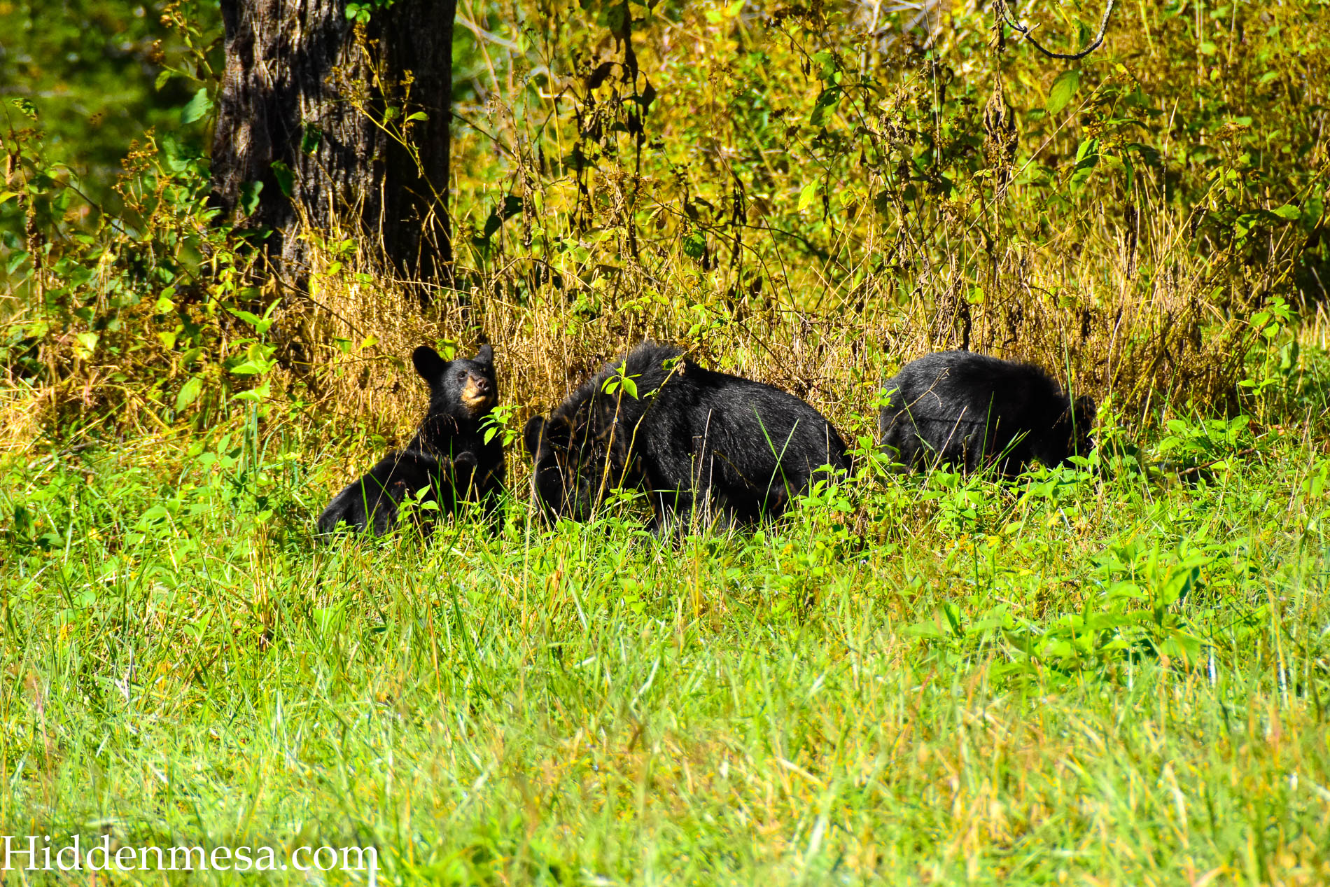 Bears in a field