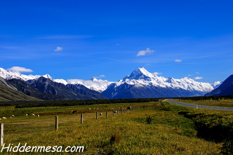 Sheep and Cows Grazing With Mount Cook in the Background