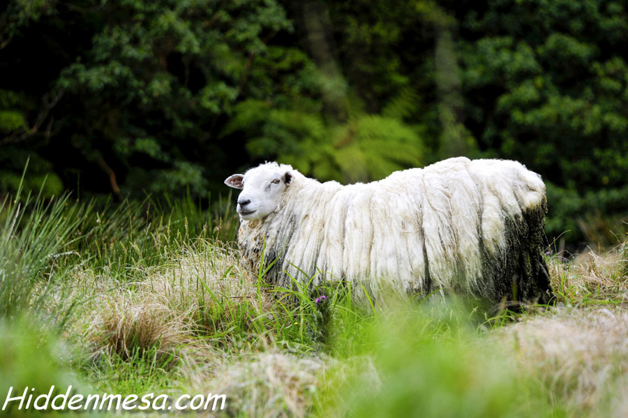 Wooly Sheep in New Zealand