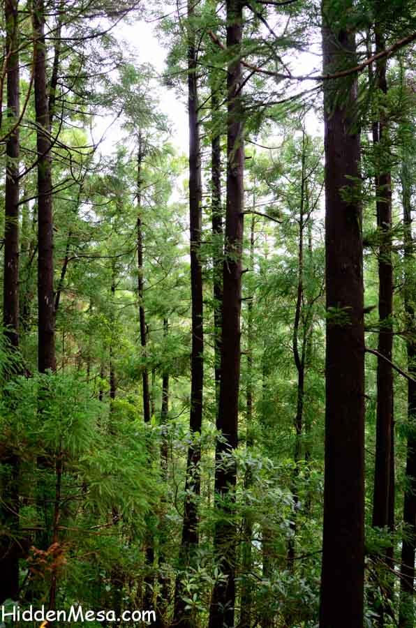 Forest of Japanese Cedar