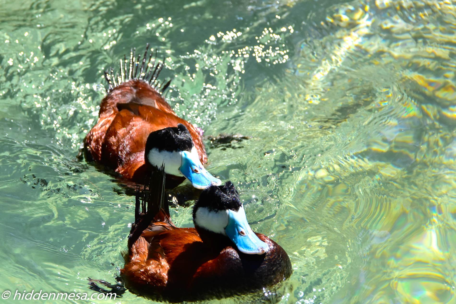 Two Ruddy Ducks