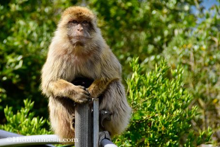 Barbary Ape in Gibraltar for a day