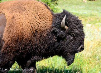 A Large Bull Buffalo walking through the prairie grass.