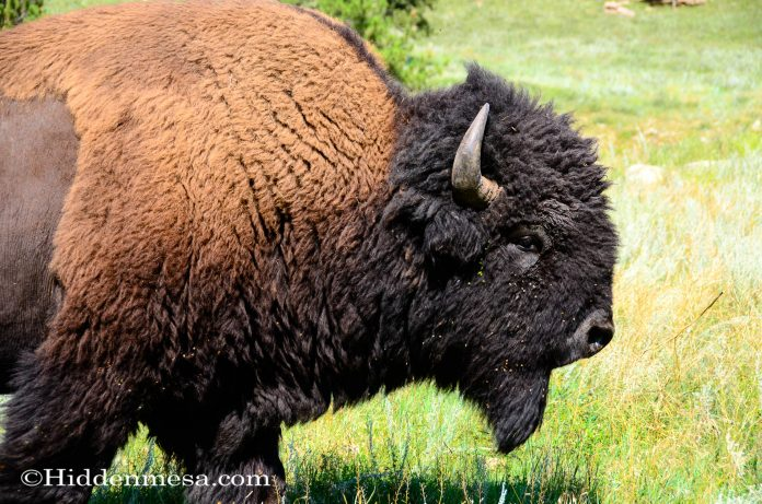 A Large Bull Buffalo walking through the prairie grass.