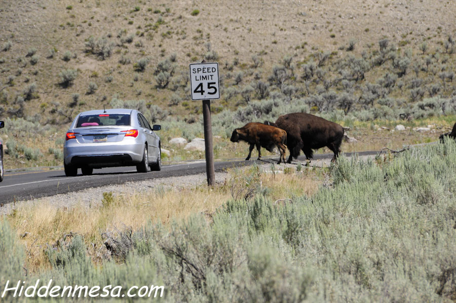 Bison Crossing the Road